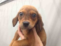 "RESCUED!! ***URGENT ON EUTH LIST***   MOBILE, ALABAMA! PAC MAN ID#A051318 ""RESCUE ONLY"" Pac Man is an adorable 2 month old, 4 1/2 pound, Shep/Beagle mix.  He is ""RESCUE ONLY"" because he has a ""skin condition on his head.  Mobile County Animal Shelter 7665 Howells Ferry Rd Mobile, AL 36618.  If you can adopt or foster for rescue, please email adopt@saveasoutherndog.com!  https://www.facebook.com/photo.php?fbid=562947363758553=a.193103557409604.60105.193102227409737=1_count=1=nf"