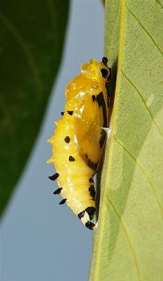 ˚Painted Jezebel Chrysalis (Delias hyparete, Pieridae)