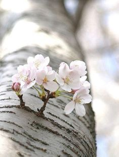 Nature does what it wants. Sakura. Cherry blossom