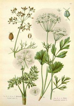 http://www.plantilustrations.org/illustration.php?id_illustration=124824