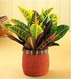 Croton Plant Image Ask Search Cactus Plants Tropical House