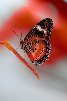 wowtastic-nature:   RedWorld- Project/ Butterfly on 500px by Niko Angelopoulos, Hilchenbach, Germany☀Canon EOS 7D, 3456✱5184px-rating:93.0