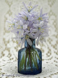 Light blue Scilla flowers in vintage ink bottle and lace.