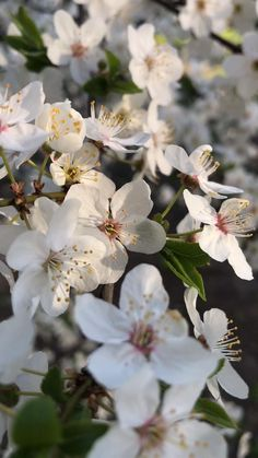 New York Discover Cherry blossoms Aesthetic Photography Nature, Nature Aesthetic, Aesthetic Movies, Flower Aesthetic, Aesthetic Videos, Nature Photography, Flower Video, Fruit Art, Flower Wallpaper