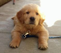 "cute!. Our youngest golden used to do this all the time as a puppy. Her nickname was ""Frog"""