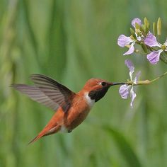 Rufous Hummingbird Male Sipping on Flower