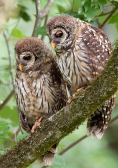 Gorgeous sibling Barred Owls, Louisiana, USA by David Chauvin. - via The Owl Pages Barred Owl, Crazy Bird, Owl Always Love You, Beautiful Owl, Wise Owl, Night Owl, All Gods Creatures, Pretty Birds, Bird Watching