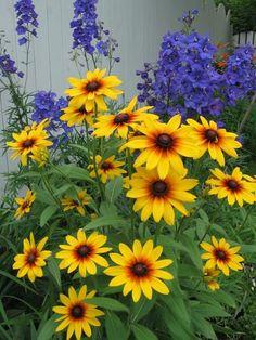 Blackeyed Susan and delphinium // Great Gardens & Ideas //