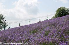 nakafurano-flower-park-Municipal Lavender Garden-3144.JPG