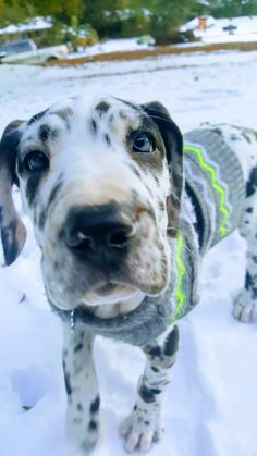 "Check out our site for additional info on ""great dane pup"". It is an exceptional place to read more. Funny Dogs, Cute Dogs, Animals And Pets, Cute Animals, Dane Puppies, Doggies, Great Dane Puppy, Big Dogs, Dog Mom"