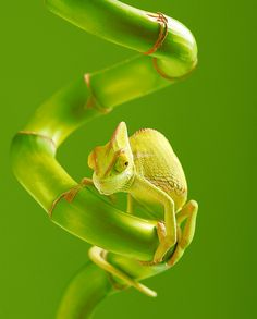 Cameleon on bamboo hameleo by *SOOO Beautiful Creatures, Animals Beautiful, Cute Animals, Geckos, Green Pictures, Animal Pictures, Reptiles And Amphibians, Nature Animals, My Animal