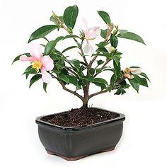 http://www.easternleaf.com/Camellia_Bonsai_Tree_p/801160-02.htm