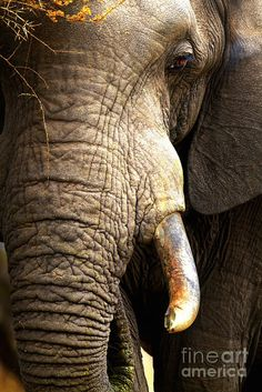 Elephant Poster featuring the photograph Elephant Close-up Portrait by Johan Swanepoel