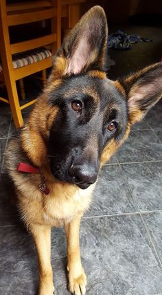 Dog Breeds Beauty♡ More - The German Shepherd - This article is all about German Shepherds. We talk about where they got their start and much more, like the American German Shepherd and the not often seen Black German Shepherd. American German Shepherd, German Shepherd Puppies, German Shepherds, German Dogs, Malinois, Yorkshire Terrier Puppies, Schaefer, Beautiful Dogs, Belle Photo