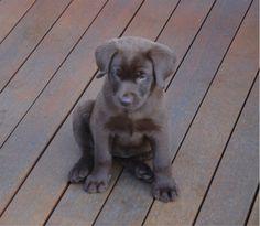 Yep I'm a cutie chocolate Labrador puppy alright. Labrador Puppies, Labrador Retriever, Black Labs, Dog Breeds, Dog Lovers, Chocolate, Pets, Friends, Awesome