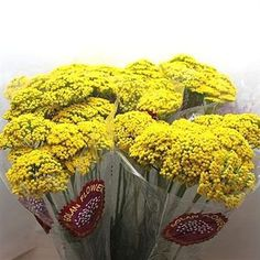 Achillea Parkers Variety is a beautiful evergreen perennial with large flat clusters of bright yellow flowers on long stems. 70cm tall & wholesaled in 50 stem wraps.