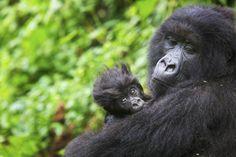 Mountain Gorilla in the Virunga Mountains, Rwanda Make the most of the June sunshine to photograph gorillas in Rwanda © Piper Mackay / Getty Images Track gorillas in Volcanoes National Park, Rwanda