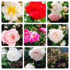 Lovely roses in my garden