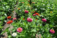 #Zinnias on the #JPParkerFlowers farm! #FlowerPower www.jpparkerco.com
