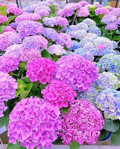 🌸💞🌸Good morning🌸💙🌸Hydrangea=colorfull🌸💙🌸have a nice Tuesday my dear friends🌸💞🌸 . Purple Flowers Wallpaper, Lilac Flowers, Tropical Flowers, Fresh Flowers, Beautiful Flowers, Hydrangea Landscaping, Outdoor Landscaping, Outdoor Gardens, Hortensia Hydrangea