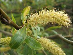 Crack Willow male flower (Salix fragilis)