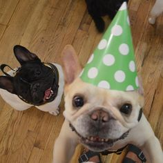 """Happy Birthday!"", Crazed French Bulldogs, the daily walter cronkite"
