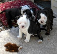 boston terrier puppies for sale in michigan Pets For Sale, Puppies For Sale, Boston Terrier Love, Boston Terriers, Terrier Puppies, Cute Baby Animals, Cute Babies, Michigan, Dogs
