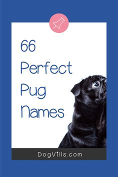 66 Perfect Pug Dog Names for Male & Female Pups - DogVills All About Puppies, Pug Names, Pet Pug, Adoption Quotes, Fawn Pug, Secret Life Of Pets, Puppy Chow, Dog Signs, Puppy Love