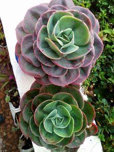 15 Succulent Cuttings Rare Haworthia Echeveria Kalanchoe Sedum Graptosedum etc.. Exotic Succulent Plant Over 45 Varieties