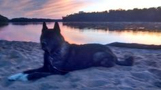 Newman my 11 yr old male Akita chillin on the Wisconsin river. Picture by Valry Parker