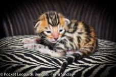 brown spotted rosetted bengal kittens for sale sacramento CA