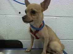 TY-TY (A1641750) I am a male tan Chihuahua - Smooth Coated.  The shelter staff think I am about 8 years old and I weigh 7 pounds.  I was found as a stray and I may be available for adoption on 09/13/2014. — : Miami Dade County Animal Services. https://www.facebook.com/urgentdogsofmiami/photos/pb.191859757515102.-2207520000.1410472520./836946696339735/?type=3&theater