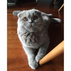 Galileo | January 2016 #eurekaandgalileo #galileocatporto #scottishfold #scottishfoldcat #scottish_fold #scottishcat #pet #petlover #cat #catlover #cats_of_instagram #catsofinstagram #instacat #instacats #kitten #gato #gatosdeinstagram #kot #γάτα #chat #gatto #猫 #macska #貓 #kat #katt #katzeeurekaandgalileo2016/02/16 07:46:14
