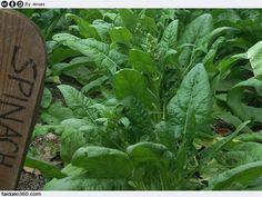 Guida alla coltivazione degli spinaci, dalle condizioni climatiche  ottimali alla preparazione del terreno, dalla semina alle tecniche di  raccolta delle foglie.
