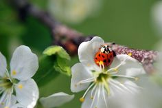 Ladybug / Coccinelle by shad.c, via Flickr