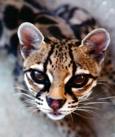 Margay. Kinda creepy... just kinda.... Info spleuf: The Margay is a spotted cat native to the Americas. Named for Prince Maximilian of Wied-Neuwied, it is a solitary and nocturnal animal that prefers remote sections of the rainforest
