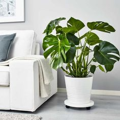 IKEA MONSTERA potted plant 15 pounds, gives green to your environment Monstera Deliciosa, Faux Plants, Potted Plants, Indoor Plants, Ikea Plants, Plants Sunny, Swiss Cheese Plant, Veggie Gardens, Planters