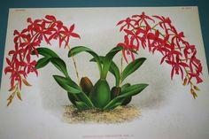 Lindenia Limited Edition Mesospinidium Vulcanicum Orchid Botanical Flower B1 WOW      $15.31