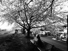 448:「桜満開の頃の千本桜をベンチで座って見てるわたしです。」@白石川堤一目千本桜