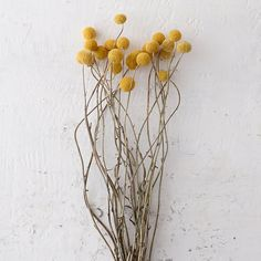 "Add a whimsical finish to fresh, green arrangements with this bundle of dried Craspedia in a bright shade of mustard.- Dried billy buttons- Indoor use only- Imported25""H, 5.5""W"