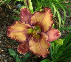 Healthy Horticulture: How To Create Your Own Organic Garden Brown Flowers, Beautiful Flowers, Exotic Flowers, Purple Flowers, Chocolate Shoppe, Petal Pushers, Day Lilies, Organic Gardening, Gardening Tools