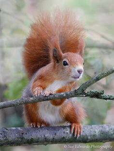 Red Squirrel I loove squirrels, Crazy Love Them; Once I risked life speeding 2 ER in LA FWY traffic 1HandOnWheel OtherCradling Precious Dying Kamikaze Squirrel, bobbing my head up and down 2C road, while giving mouth to mouth Because CPR wass all I could think 2 do 4 this innocent squirrelly.