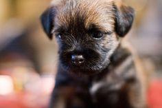 Border Terrier pup.