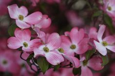 dogwood flowers- my favorite part of spring!