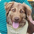 Garfield Heights, OH - Australian Shepherd. Meet Duchess, a for adoption. http://www.adoptapet.com/pet/15674095-garfield-heights-ohio-australian-shepherd-mix