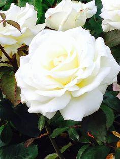 Lieschens-Bilder: Blume Rose weiß halb gefüllt