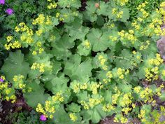 Lady's mantle - Achillea - very happy in some parts of my yard