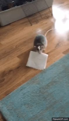 Find someone that loves you like my rattie loves his tissue #aww #cute #rat #cuterats #ratsofpinterest #cuddle #fluffy #animals #pets #bestfriend #ittssofluffy #boopthesnoot