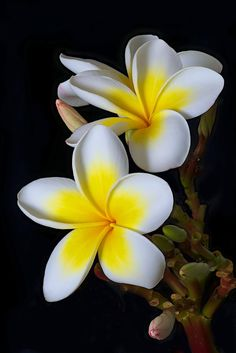 The fabulous frangipani, Plumeria rubra has a stunning flower that people in the tropics and subtropics sometimes take for granted. It grows widely around the warmer parts of Australia, it has a truly beautiful flower and smells so sweet. Botanical Flowers, Flowers Nature, Exotic Flowers, Tropical Flowers, Amazing Flowers, Beautiful Flowers, Spring Flowers, Flores Plumeria, Plumeria Flowers