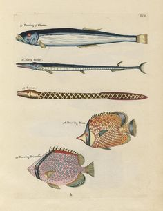 Images from the First Colour Publication on Fish (1754)   The Public Domain Review